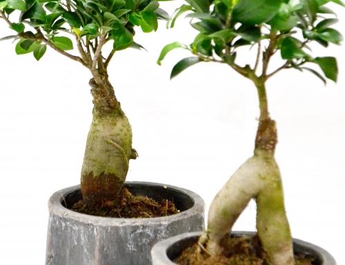 Gingsen Ficus
