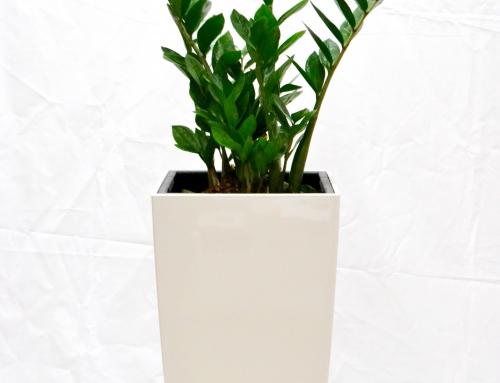 Palmuvehka, valkoinen Lechuza